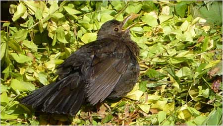 Female blackbird c/o Annabelle Tipper