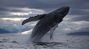 Humpback Whale from Nature Picture Library