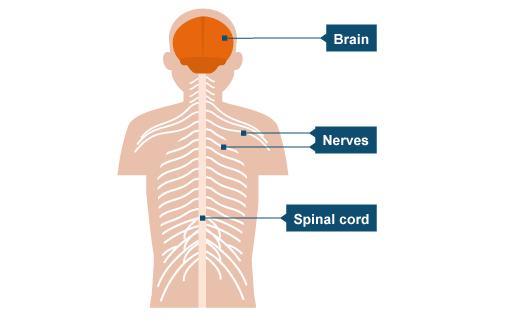 essay on human nervous system