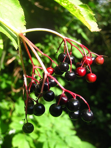 Bbc Nature Uk Nature S Feast Of Early Autumn Fruits