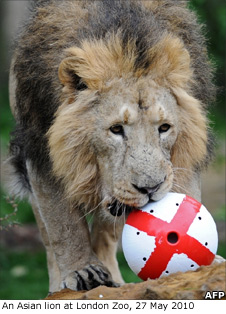 Lion with ball containing meat treats