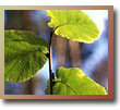 Hazel Leaves - Woodland Trust Picture Library
