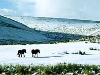 Exmoor with ponies in winter