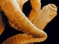 human tapeworm symbiotic relationship
