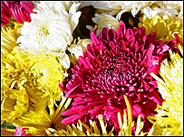 A mix of Chrysanthemums