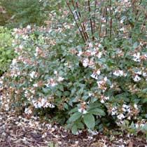 Bbc Gardening Plant Finder Abelia