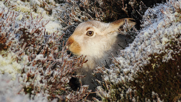 Mountain Hare camouflaged against the winter snow