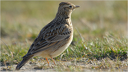 Skylark c/o northeastwildlife.co.uk