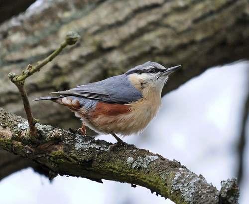 Colourful nuthatch by Fungus Mcbogle