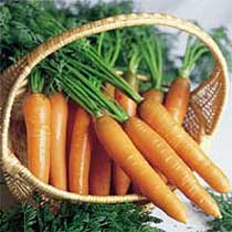 Carrot 'Nantes 3 Tip Top'.  Image supplied by Dobies