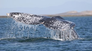 Gray Whale breach by Steven Swartz
