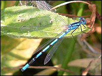 Picture: Common Blue damselfly