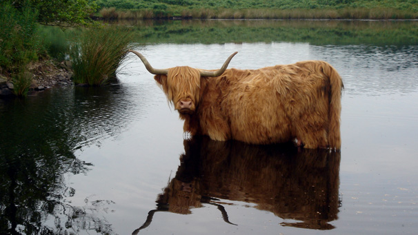 Gordon Aitchison's photograph is first in our brand new gallery of Highland cattle images. He saw this cow cooling off in the loch on the farm where he works in Dumfries and Galloway.