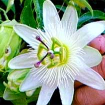 Bbc Gardening Plant Finder Passion Flower