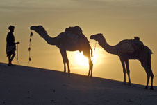 Camels walking across the desert