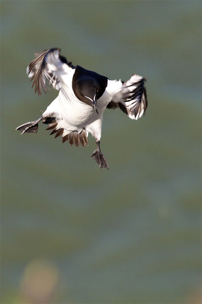 Razorbill landing by Simon Watling