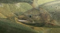 Atlantic Salmon from the Nature Picture Library