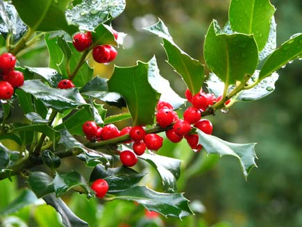 A dew covered holly bush with bright red berries in a garden
