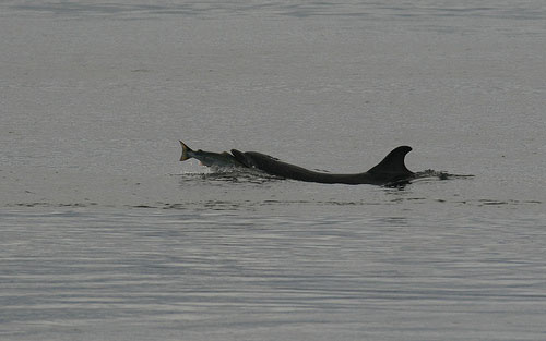 dolphin catching salmon by The Warlock