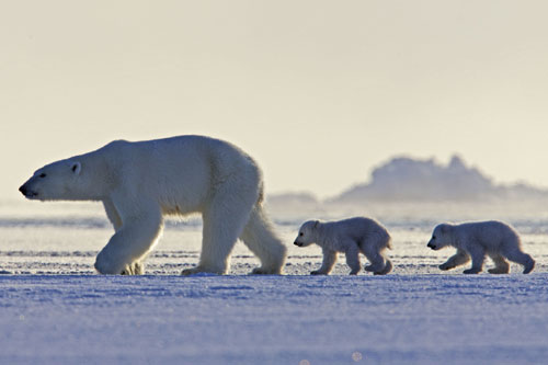 Female polar bear and two cubs walking across the ice