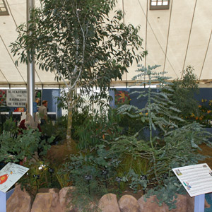 Tom Hart Dyke's Eucalyptus stand at Plant Heritage Marquee