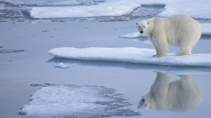 Polar Bear from the Nature Picture Library