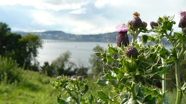 Tay Bridge with thistle in foreground