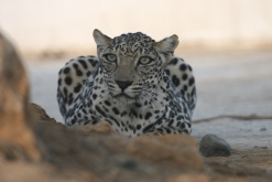 An arabian leopard in Oman. (c) Tessa McGregor