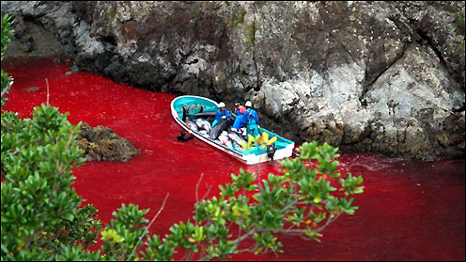 The dolphin slaughter in Taiji, Japan