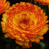BBC - Gardening: Plant Finder - Pot marigold