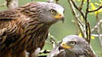 Red kite. Image by RSPB