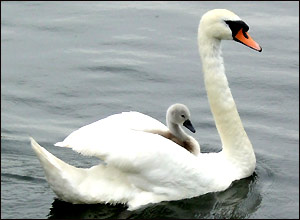 Swan and cygnet on the Thames (Claire Willatt)