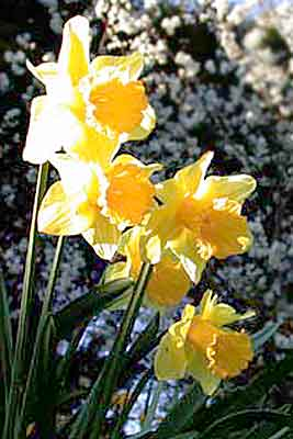 Daffodils - by Don Anderson
