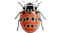 Eyed ladybird artwork, courtesy RSPB ©Chris Shields
