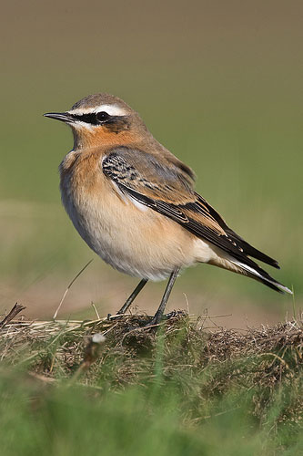wheatear by Nigel Pye