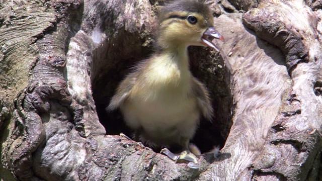Гнездо для диких уток своими руками