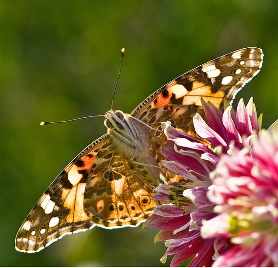 painted lady butterfly by PollyMM