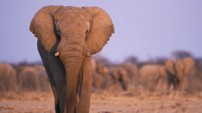 African Elephant from Nature Picture Library