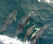 Common dolphins at the bow of the boat