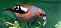Chaffinch, copyright owned by Blueskybirds.co.uk