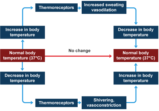 Bbc intermediate 2 bitesize biology brain and nervous system how the body regulates its temperature ccuart Images
