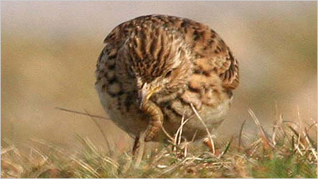 Skylark feeding c/o Margaret Holland