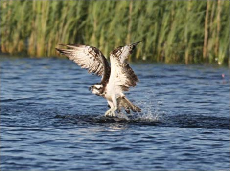 Osprey in the water