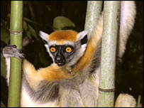 Golden_crowned_sifaka