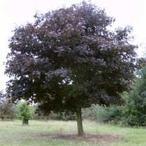 BBC Gardening Plant Finder Norway Maple - Norway maple crimson king