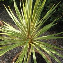 Bbc Gardening Plant Finder New Zealand Cabbage Palm