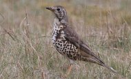 Mistle Thrush, copyright owned by Blueskybirds.co.uk