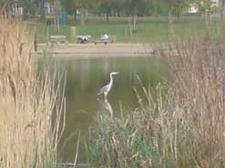 Heron on the river