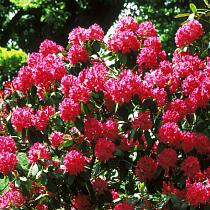 Bbc Gardening Plant Finder Rhododendron