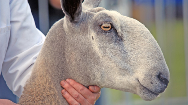 One of the heaviest of all native breeds, the Blue Faced Leicester has a broad muzzle and most have a roman nose.